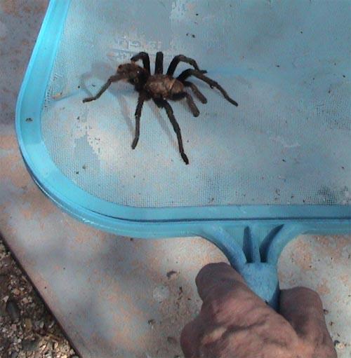 tarantula_pool.jpg